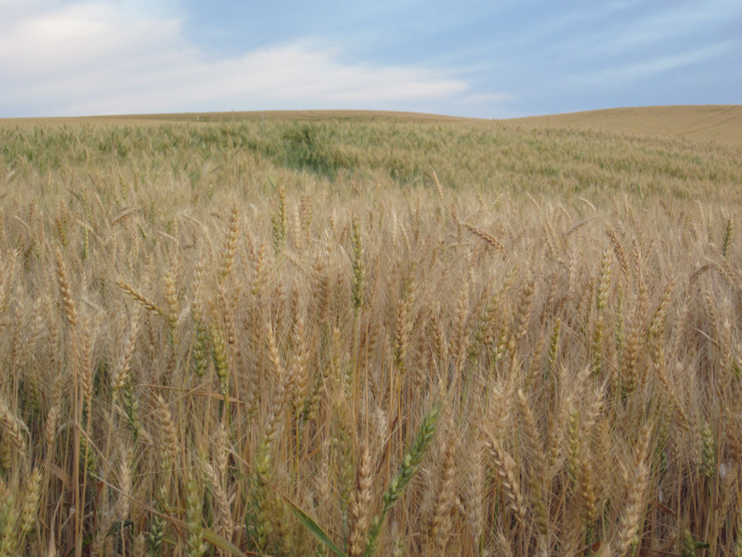Wheat, eastern Washington, August 2011.